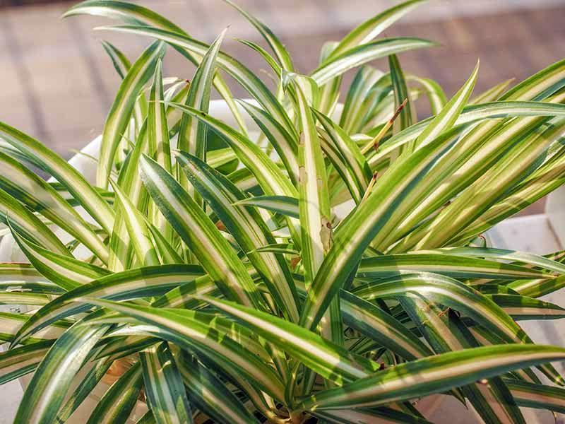 Желтеет и сохнет хлорофитум