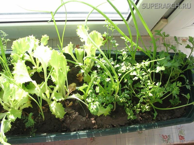 Выращивание укропа гидропонным методом 13