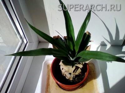 можно ли вырастить в домашних условиях ананас