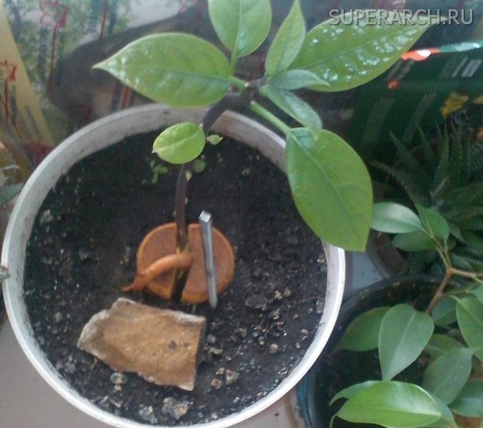 Как из косточки вырастить дома авокадо Авокадо Дерево в Доме