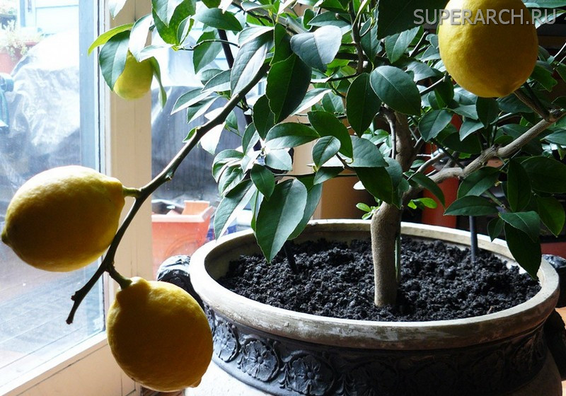Лимонное дерево в домашних условиях 507