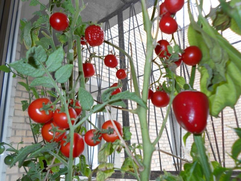 Балконное чудо помидоры выращивание в теплице 57