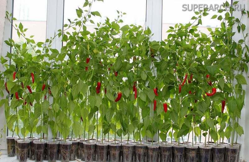 Как вырастить рассаду перца в домашних условиях на подоконнике - Rc-garaj.ru