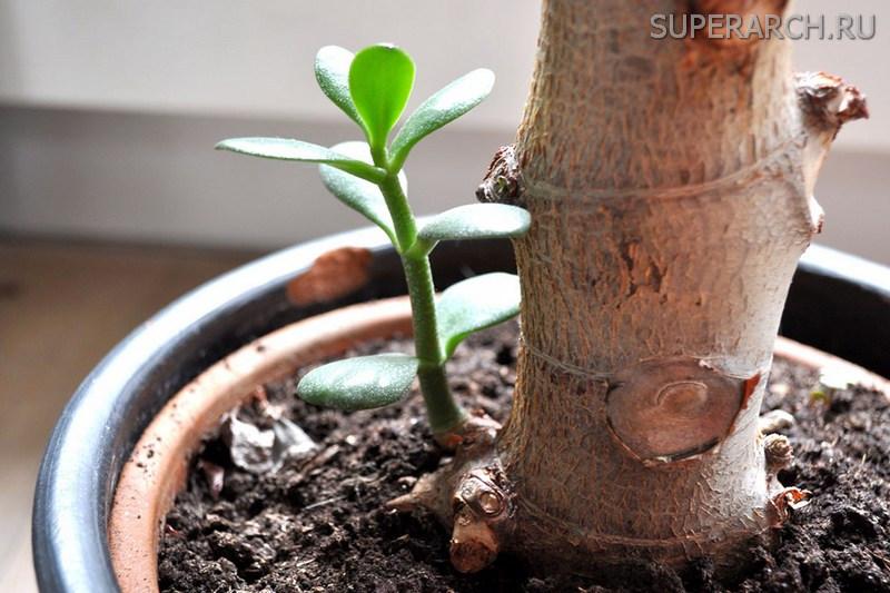 Как размножать денежное дерево в домашних условиях 257