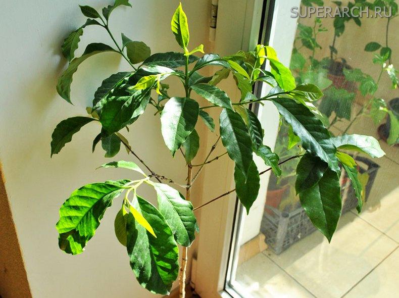 Дерево кофе арабика в домашних условиях 922