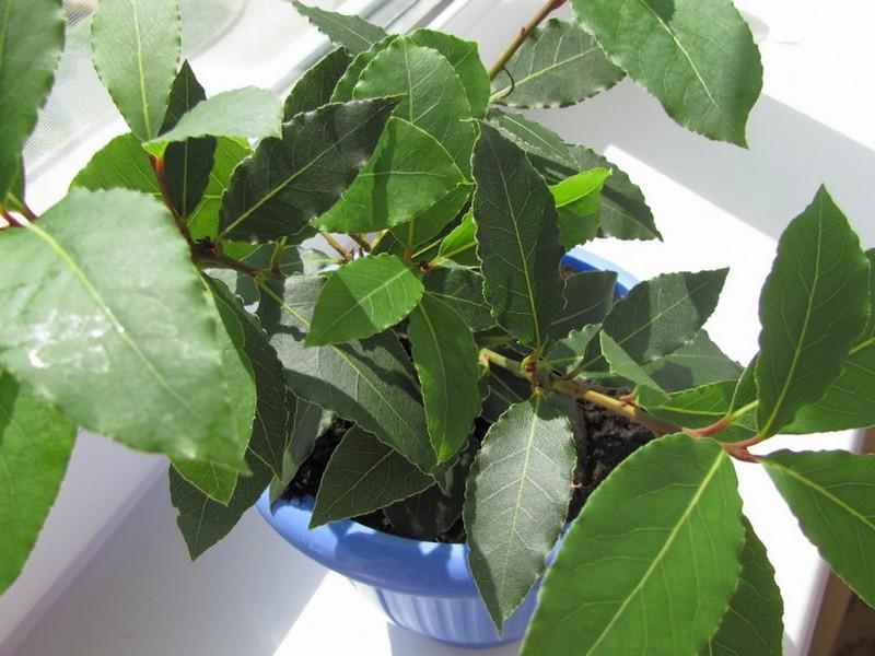 Выращивание лаврушка 60