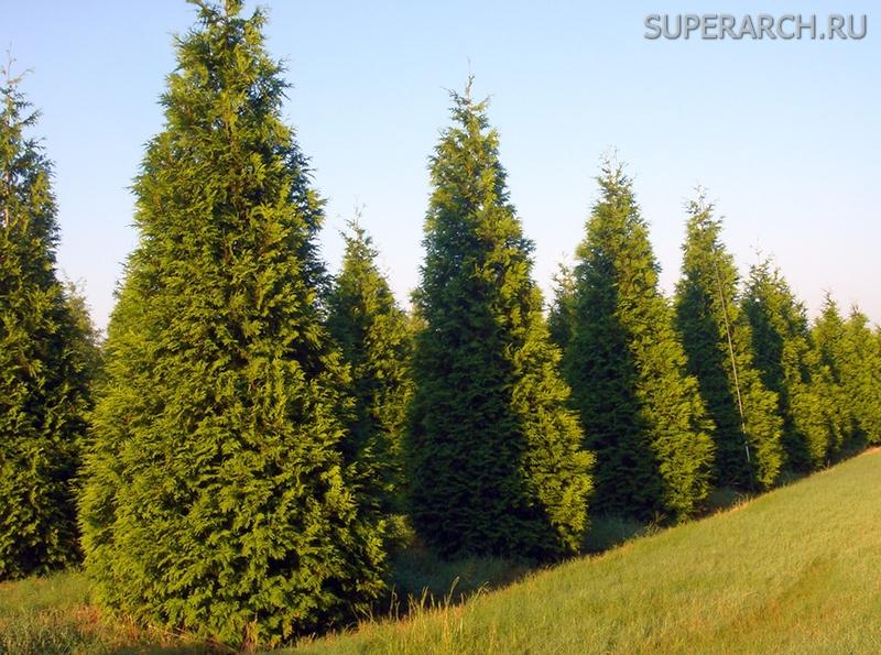 Какое дерево можно посадить у дома