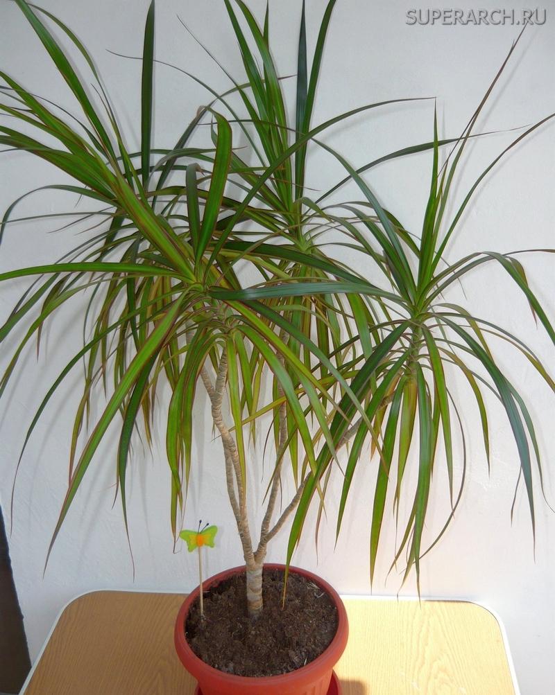 Цветы похожие на пальмы комнатные