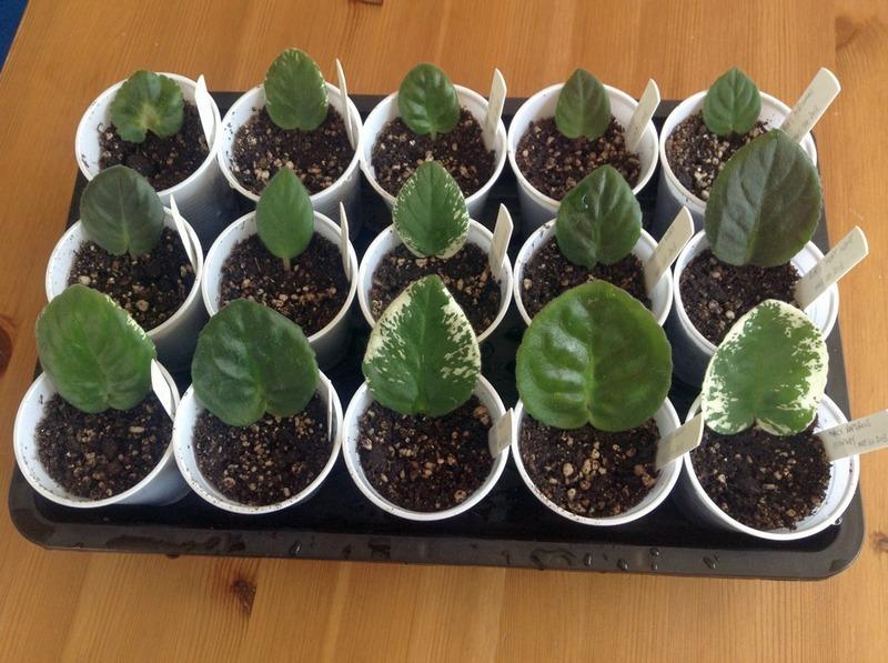 Выращивание сенполии из семян в домашних условиях 47