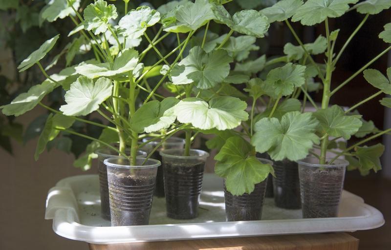 Как выращивать герань в домашних условиях 256