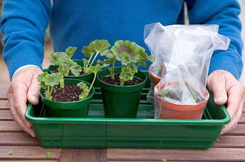 Как посадит герань домашних условиях