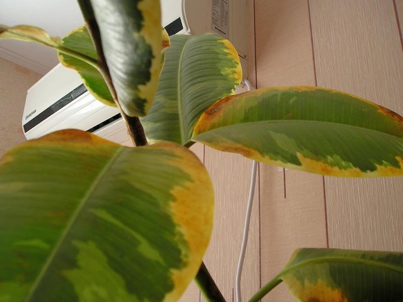 У цветов желтеют листья что делать