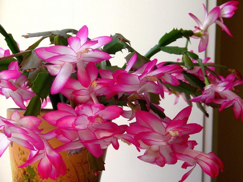 Зигокактус шлюмбергера уход в домашних условиях фото